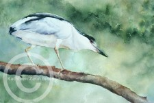 Black Crowned Night Heron 1